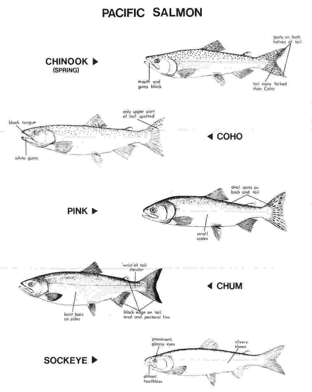 salmon coloring pages pacific salmon coloring pages download and print for free coloring pages salmon