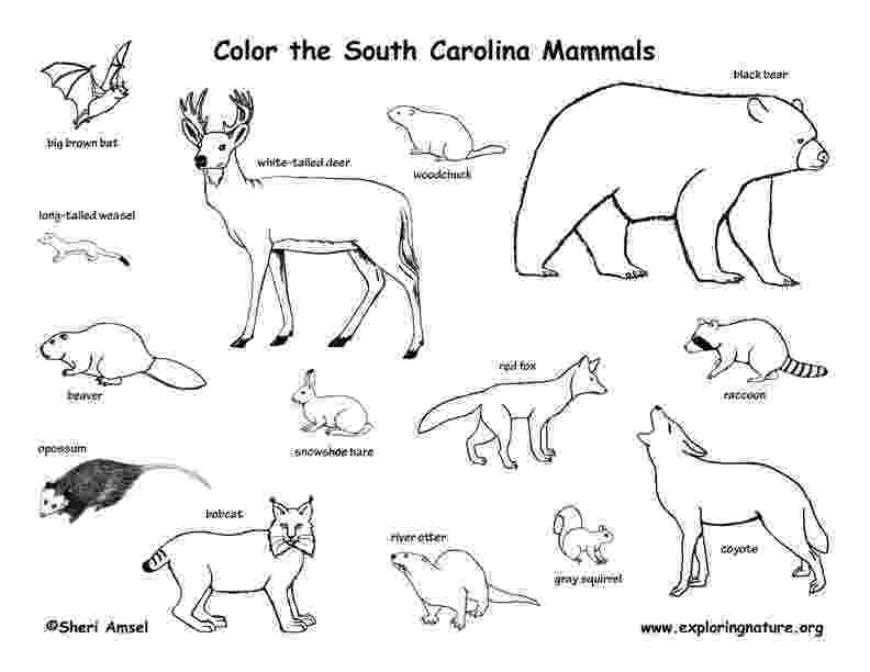 sc state bird south carolina state symbols coloring page free sc state bird