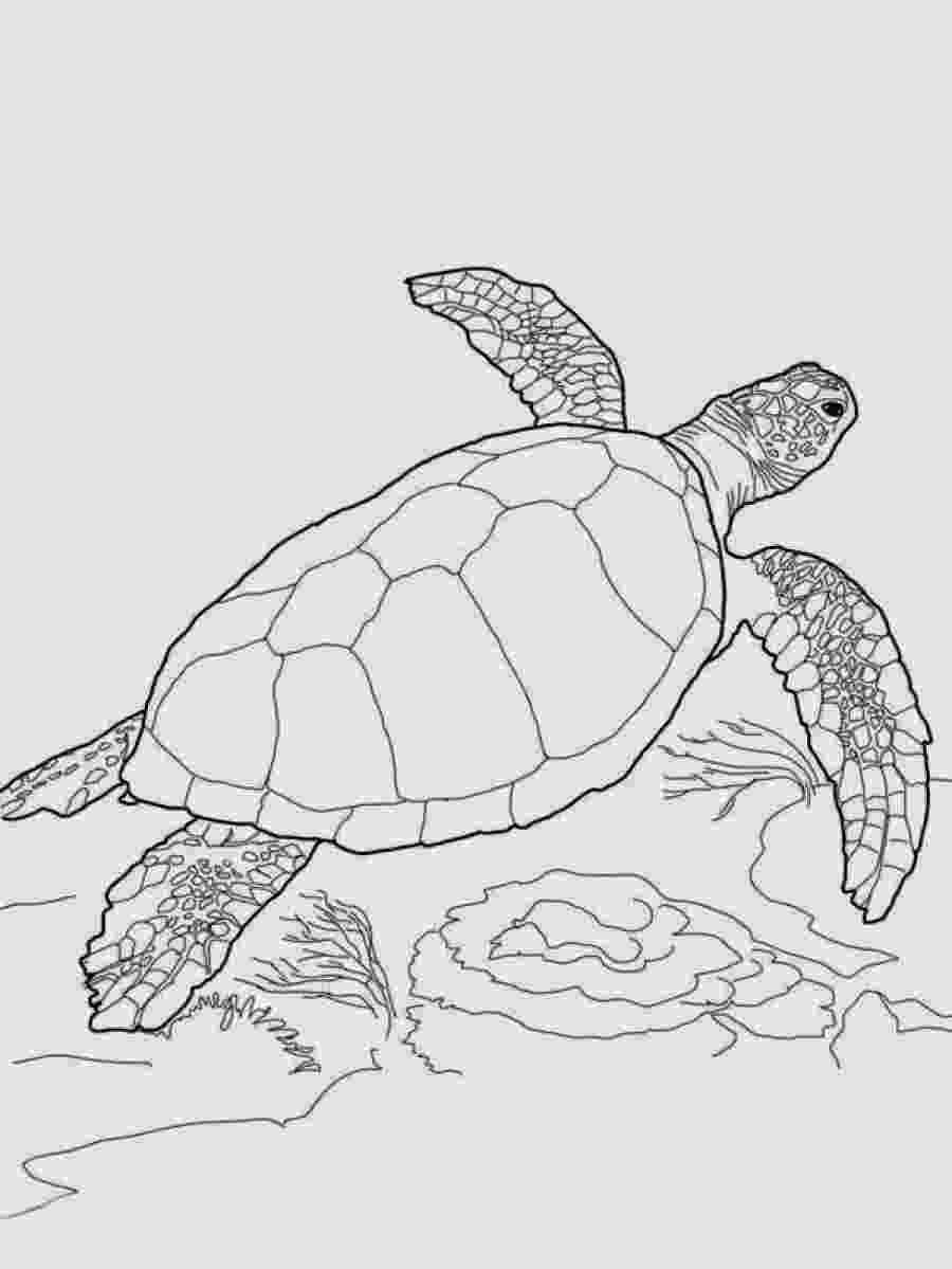 sea turtle to color green sea turtle coloring page from turtles category color to sea turtle