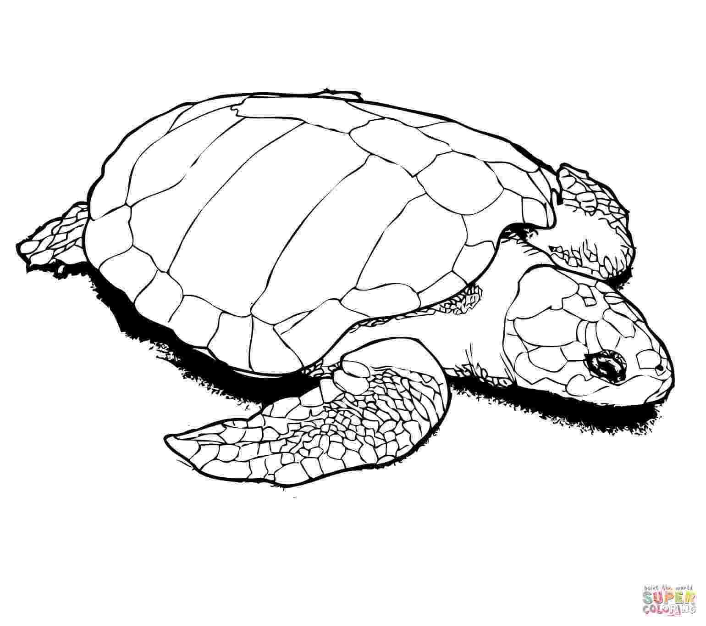 sea turtle to color sea turtle coloring pages kidsuki to turtle color sea