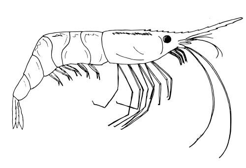 shrimp coloring shrimp coloring page audio stories for kids free coloring shrimp