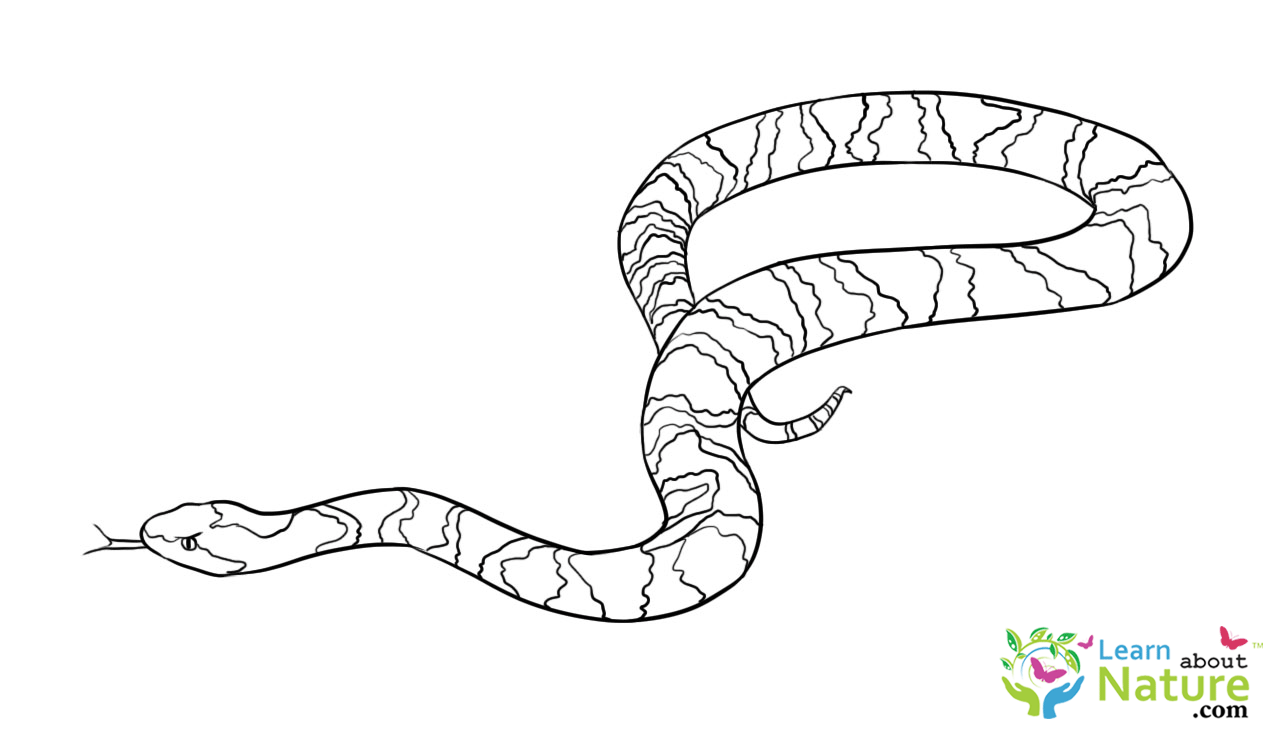 snake coloring sheet snake coloring page learn about nature coloring snake sheet