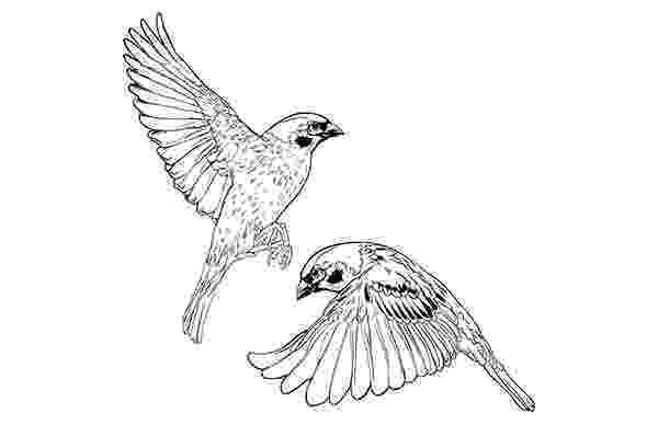 sparrow sketch flying sparrows on saic portfolios sketch sparrow