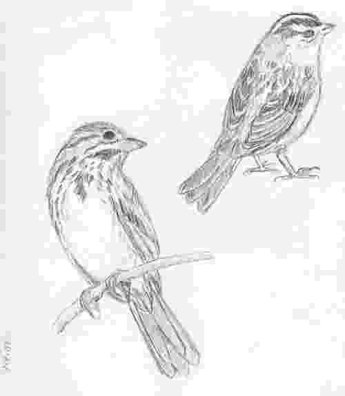 sparrow sketch house sparrow coloring page free printable coloring pages sketch sparrow