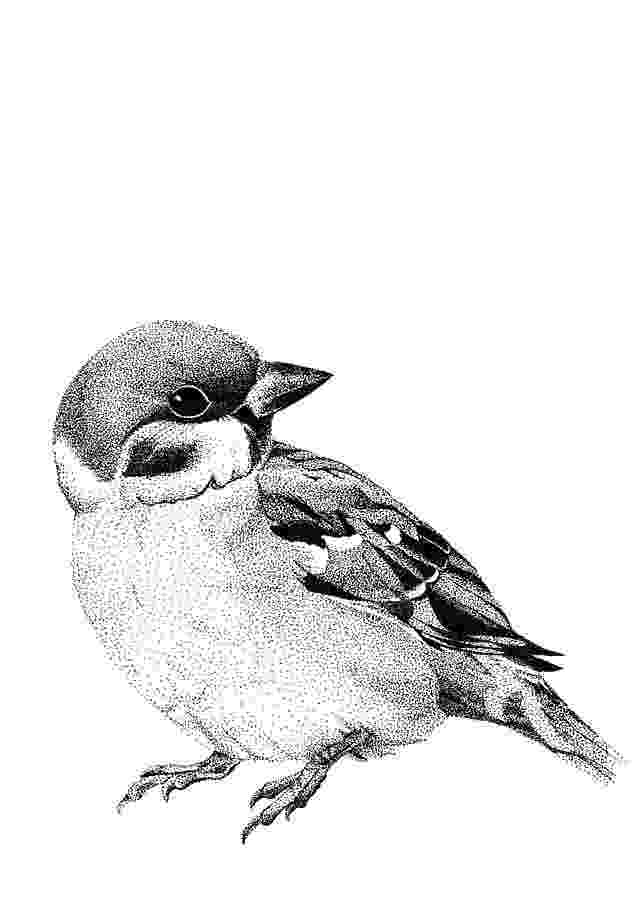 sparrow sketch house sparrow drawing by cynthia lanka sparrow sketch