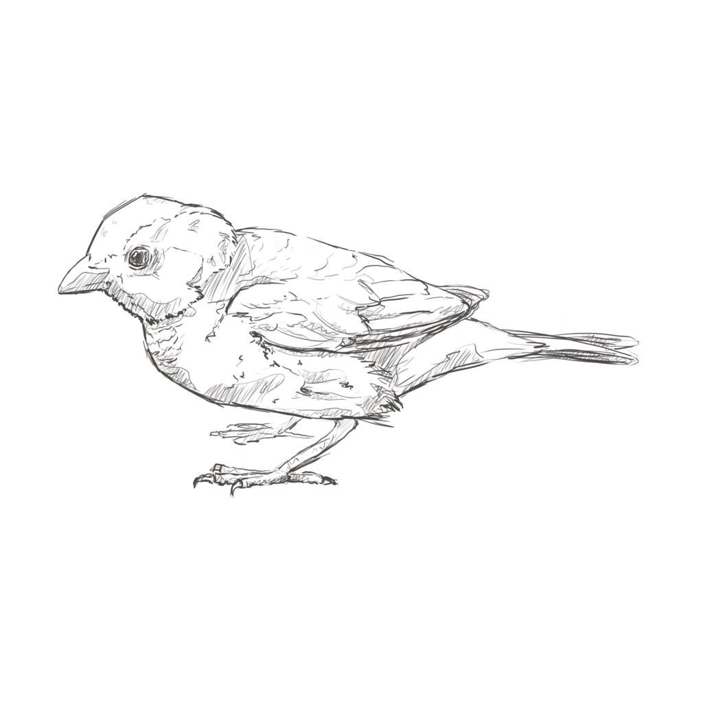sparrow sketch how to draw a sparrow sparrow sketch