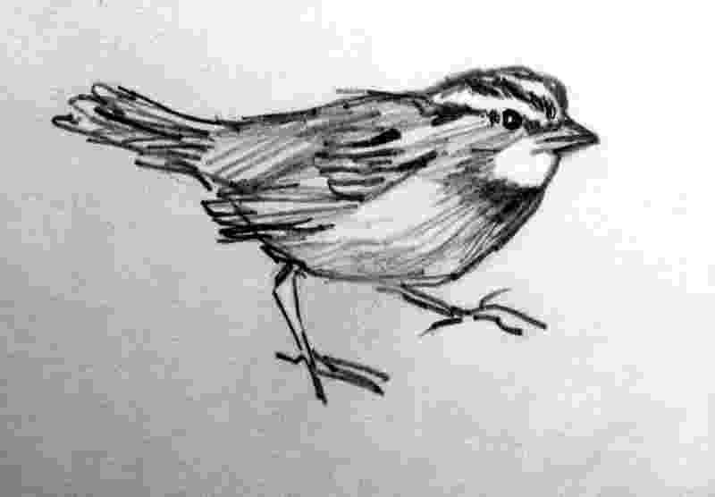 sparrow sketch jack sparrow captain jack sparrow by freaky vitta on sketch sparrow