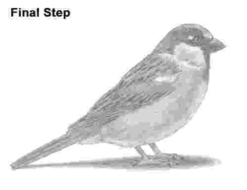 sparrow sketch learn how to draw a eurasian tree sparrow birds step by sparrow sketch