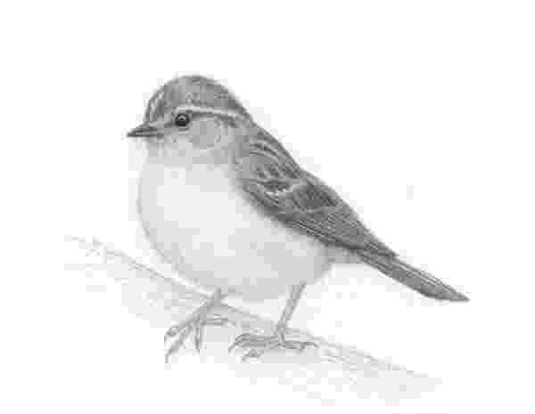 sparrow sketch sparrow sketch by etaludom on deviantart sketch sparrow