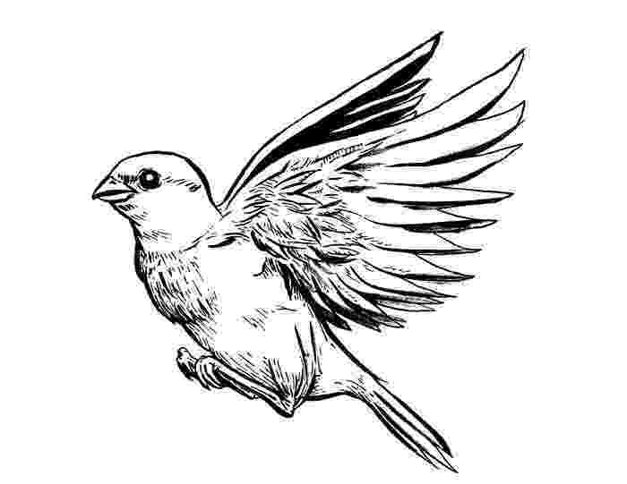 sparrow sketch sparrow sketch weasyl sketch sparrow