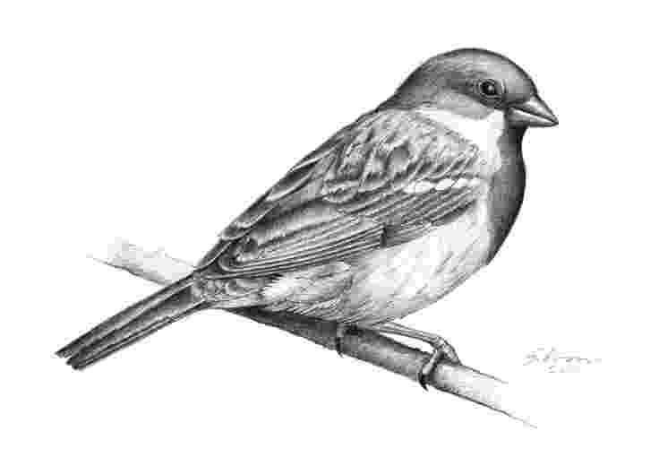 sparrow sketch wanderings august 2011 sketch sparrow