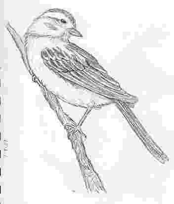 sparrow sketch wanderings sparrow sketch sparrow sketch