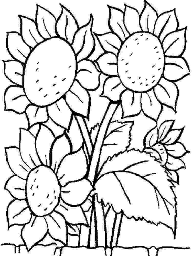 sunflower for coloring helianthus or sunflower colouring pages picolour for sunflower coloring