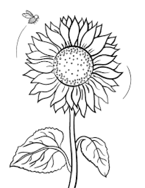 sunflower for coloring sunflower seed coloring coloring coloring pages coloring for sunflower