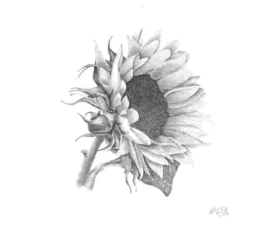 sunflower sketch chicago botanical artists peggy notebaert nature museum sunflower sketch