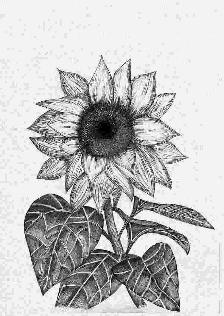 sunflower sketch orbiting io daily rituals 008 sunflower sketch