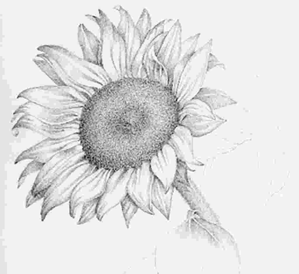 sunflower sketch photo realistic dagger drawing rendering drawings sunflower sketch