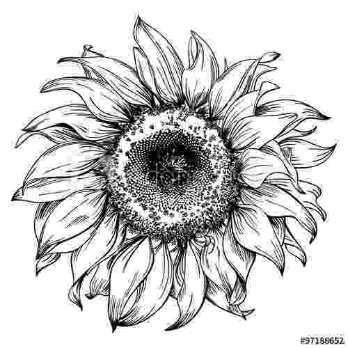 sunflower sketch pin on pen and ink sketch sunflower