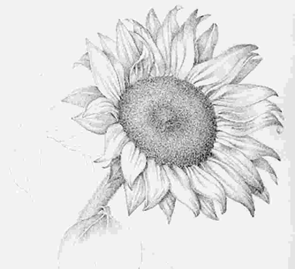 sunflower sketch poppy and sunflower commissioned 2015 sunflower sunflower sketch
