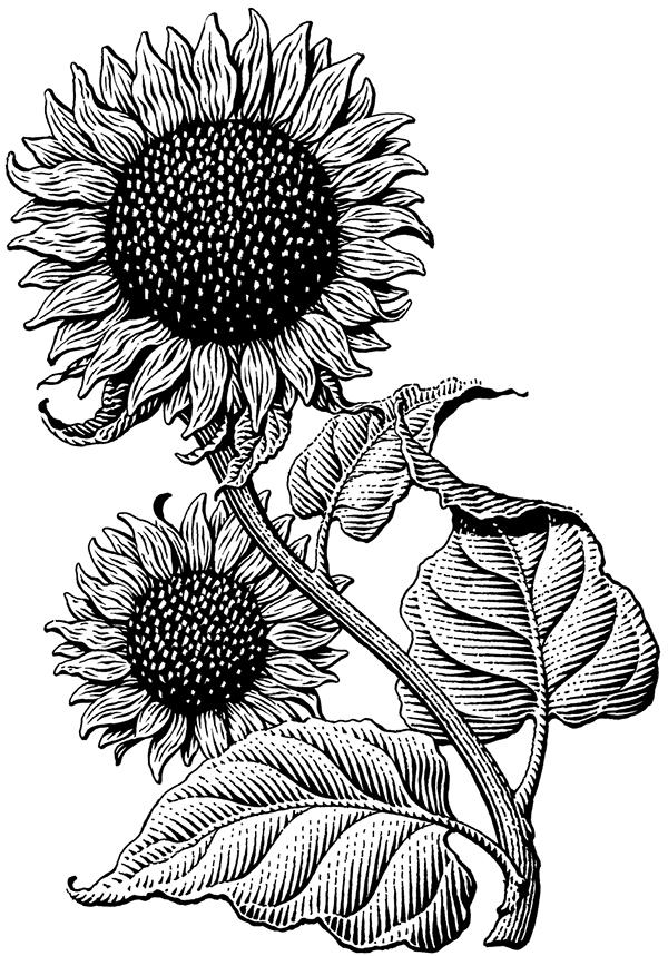 sunflower sketch sunflower drawing by pam belcher sunflower sketch