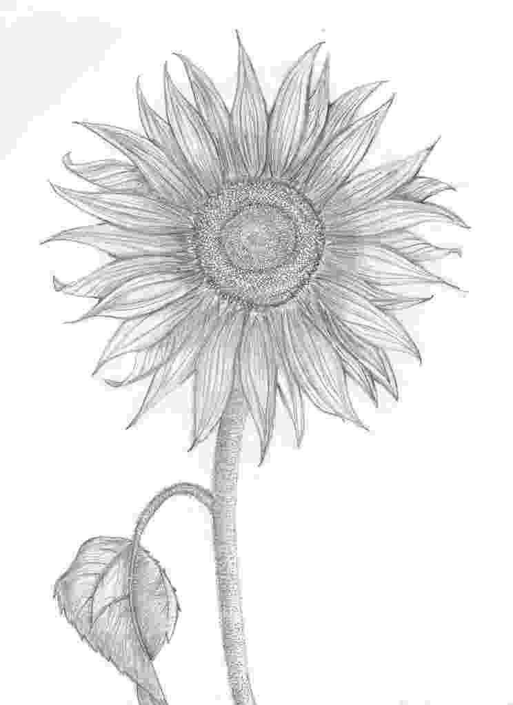 sunflower sketch sunflower drawing wallpapers gallery sketch sunflower