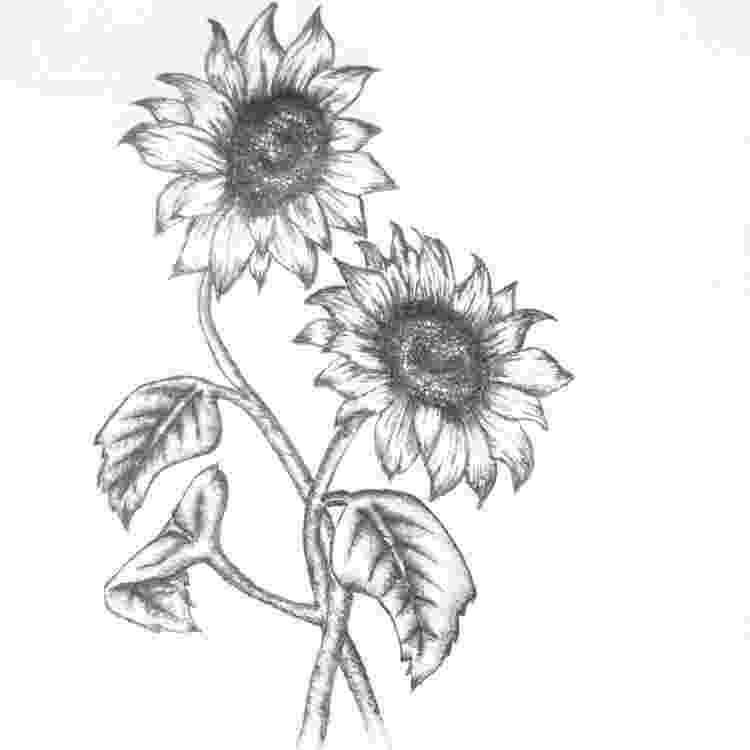 sunflower sketch sunflower sketch sketch sunflower