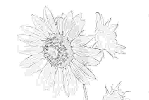 sunflower sketch the 25 best sunflower drawing ideas on pinterest sunflower sketch