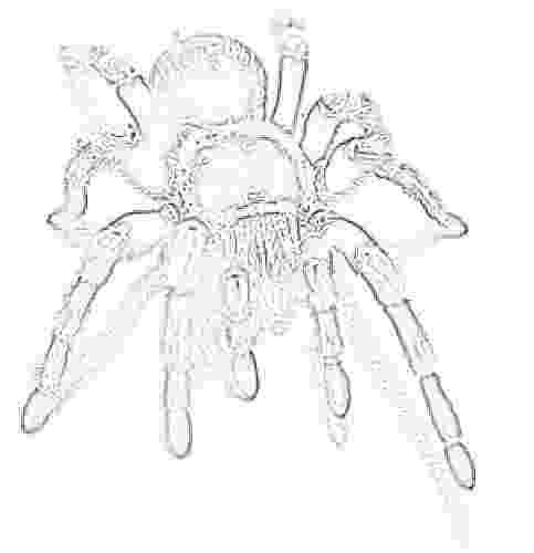 tarantula coloring page giant tarantula spider coloring sheet page tarantula coloring 1 1