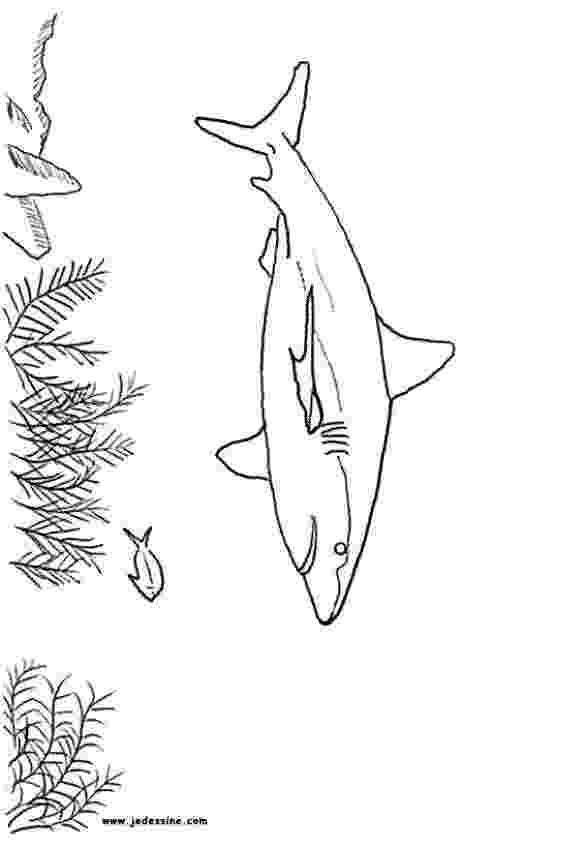 tiburones para dibujar grey reef shark coloring pages hellokidscom tiburones para dibujar
