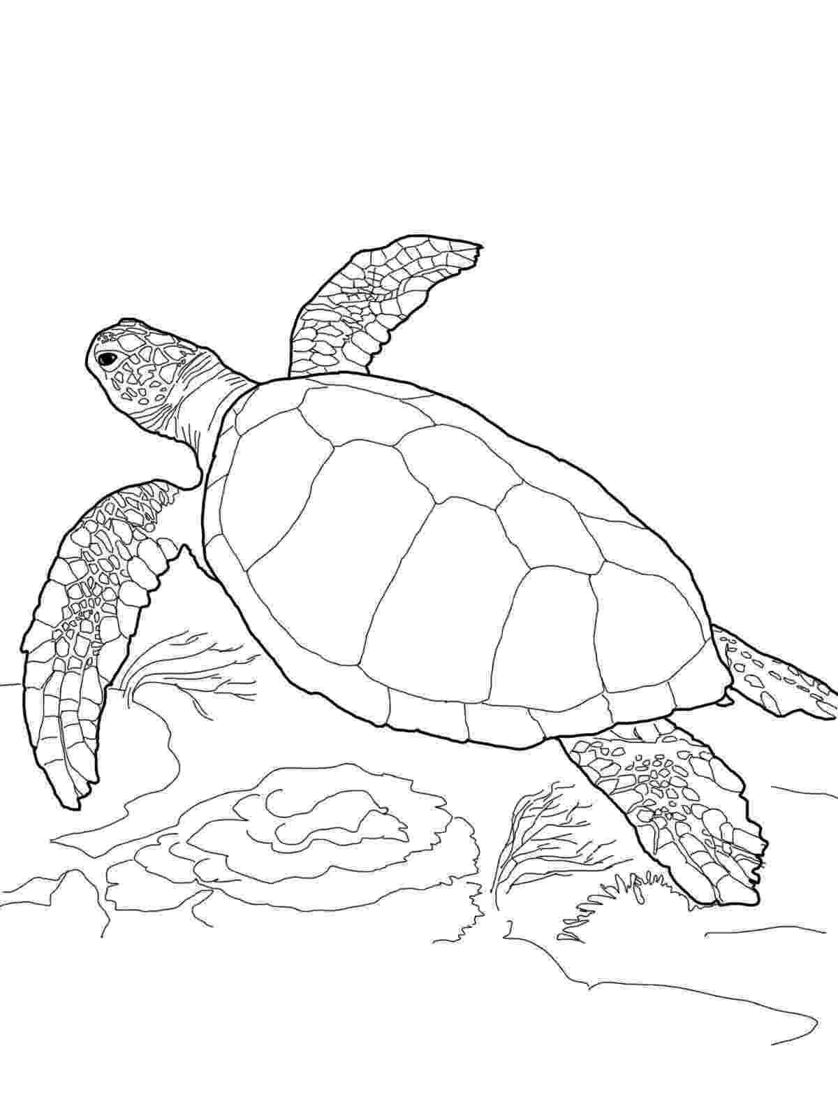 turtle coloring pictures to print sea turtle print out google search turtle coloring coloring print pictures to turtle