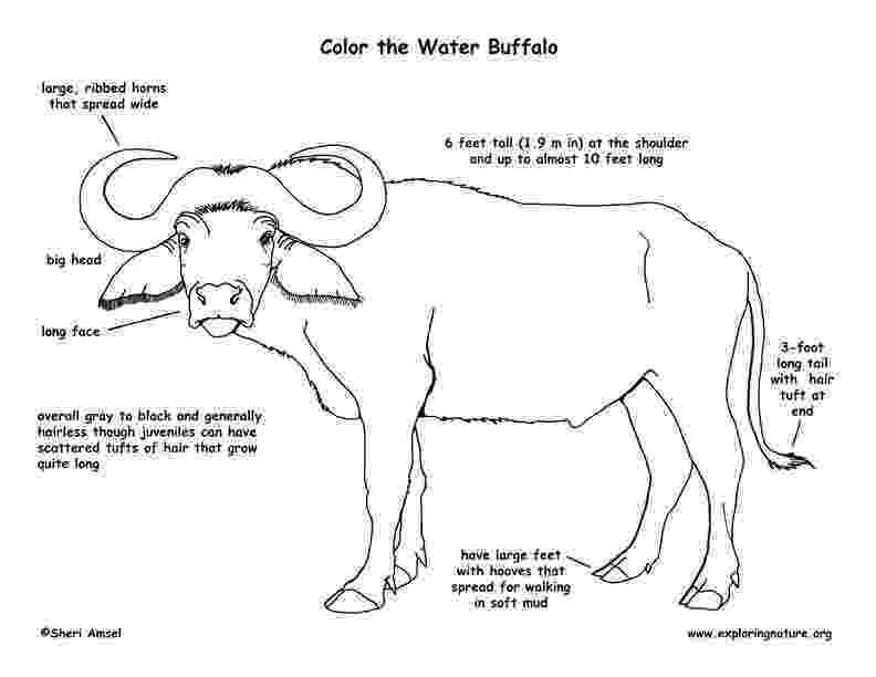 water buffalo coloring page water buffalo coloring pages buffalo water coloring page