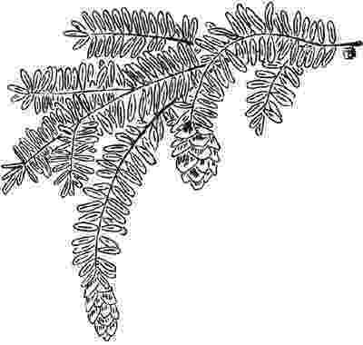 western hemlock coloring page eastern hemlock tree coloring page coloring pages western page coloring hemlock