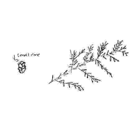 western hemlock coloring page royalty free hemlock tree clip art vector images coloring hemlock western page