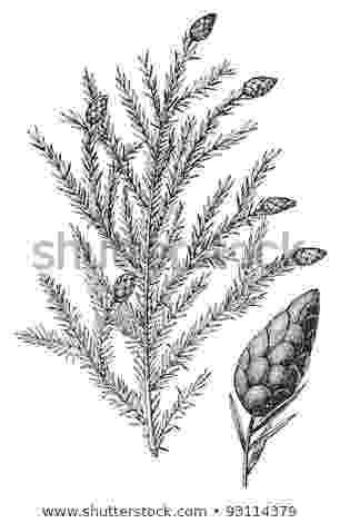 western hemlock coloring page state tree clipart clipground western hemlock coloring page
