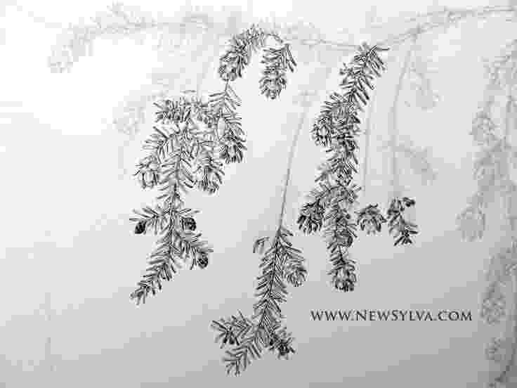 western hemlock coloring page trees of the ne coloring hemlock page western