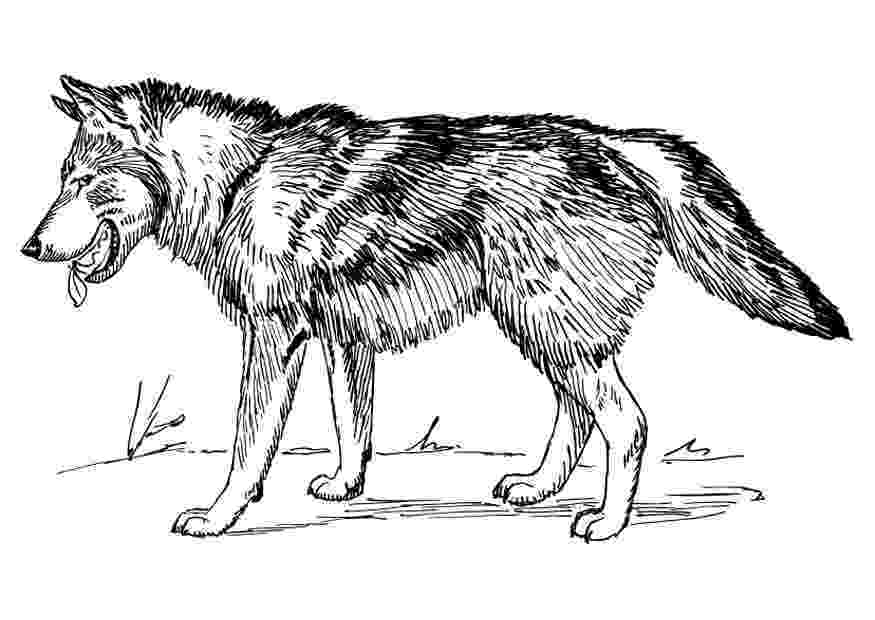 wolf colouring pages free printable wolf coloring pages for kids pages wolf colouring 1 1