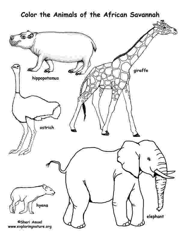 african savanna coloring pages safari or african savanna animals free printable coloring savanna pages african