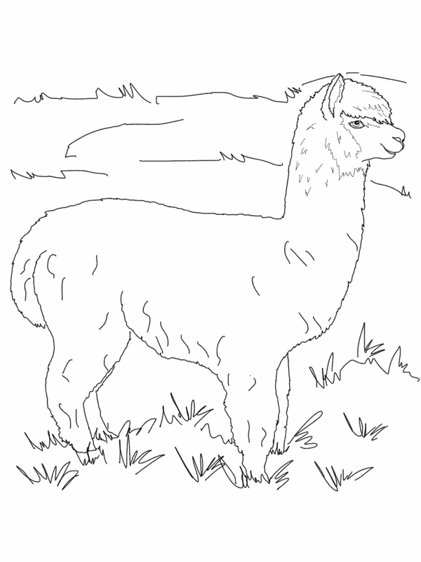 alpaca coloring pages alpaca coloring pages free pages alpaca coloring