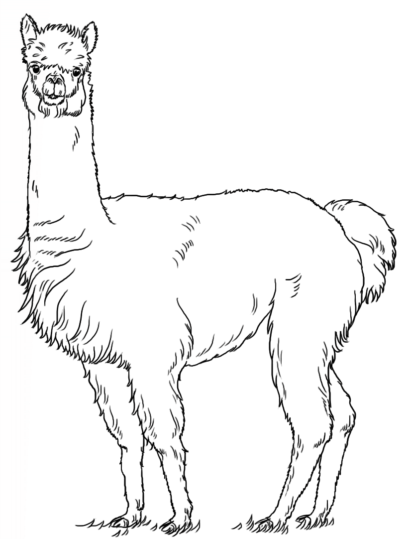 alpaca coloring pages alpaca drawing at getdrawingscom free for personal use alpaca pages coloring