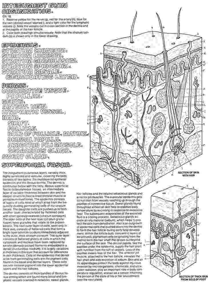 anatomy coloring book 4th edition 1000 images about random coloring pages for the kids on 4th anatomy coloring book edition