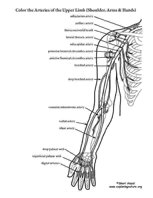 anatomy coloring book free human anatomy coloring pages sketch coloring page free anatomy book coloring