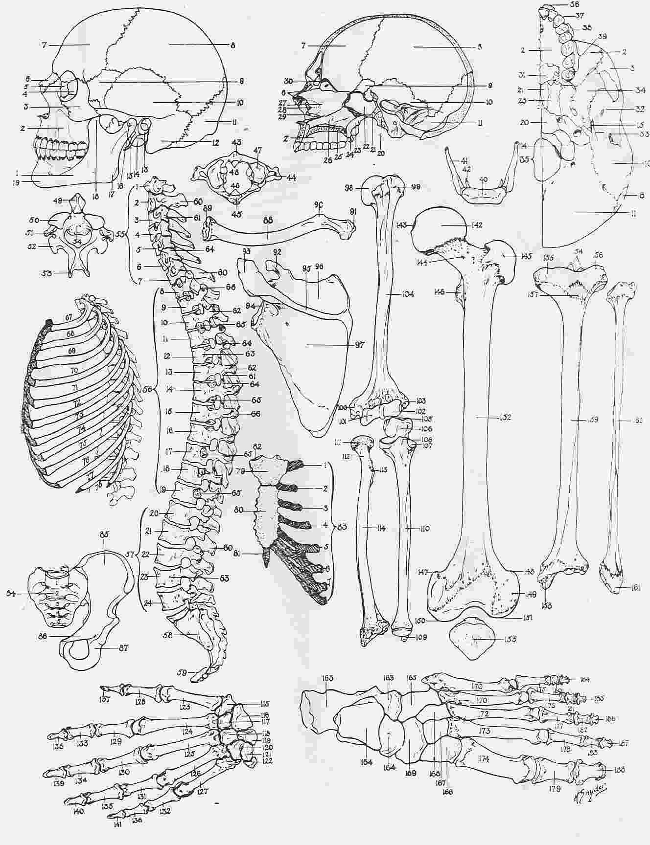 anatomy coloring pages free 9 best ap coloring pages images on pinterest anatomy anatomy pages coloring free