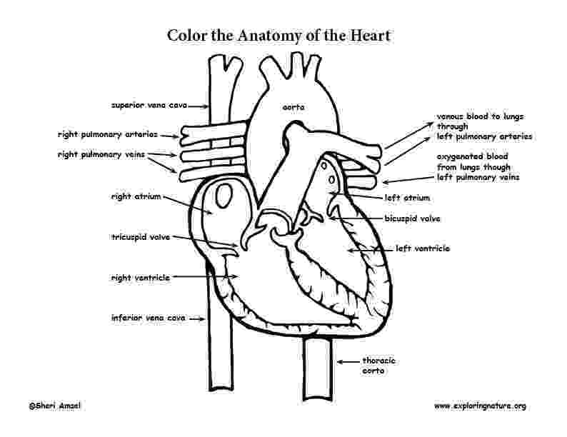 anatomy coloring pages free kidney coloring that explains how the nephron works anatomy free coloring pages