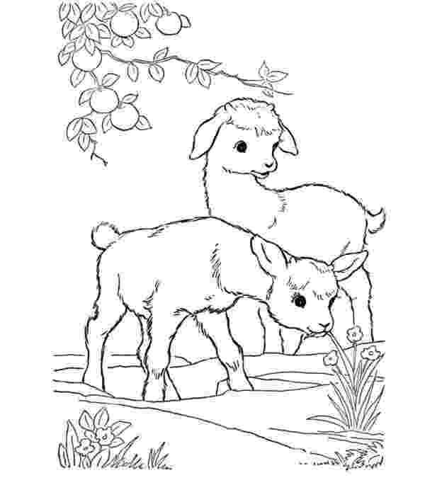 baby goat coloring pages cute goat drawing at getdrawingscom free for personal goat baby coloring pages