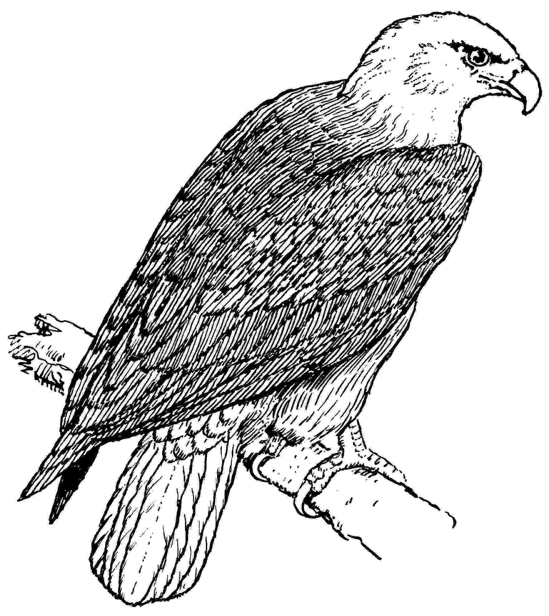 bald eagle pictures to color bald eagle with smooth feather coloring page netart color to bald eagle pictures
