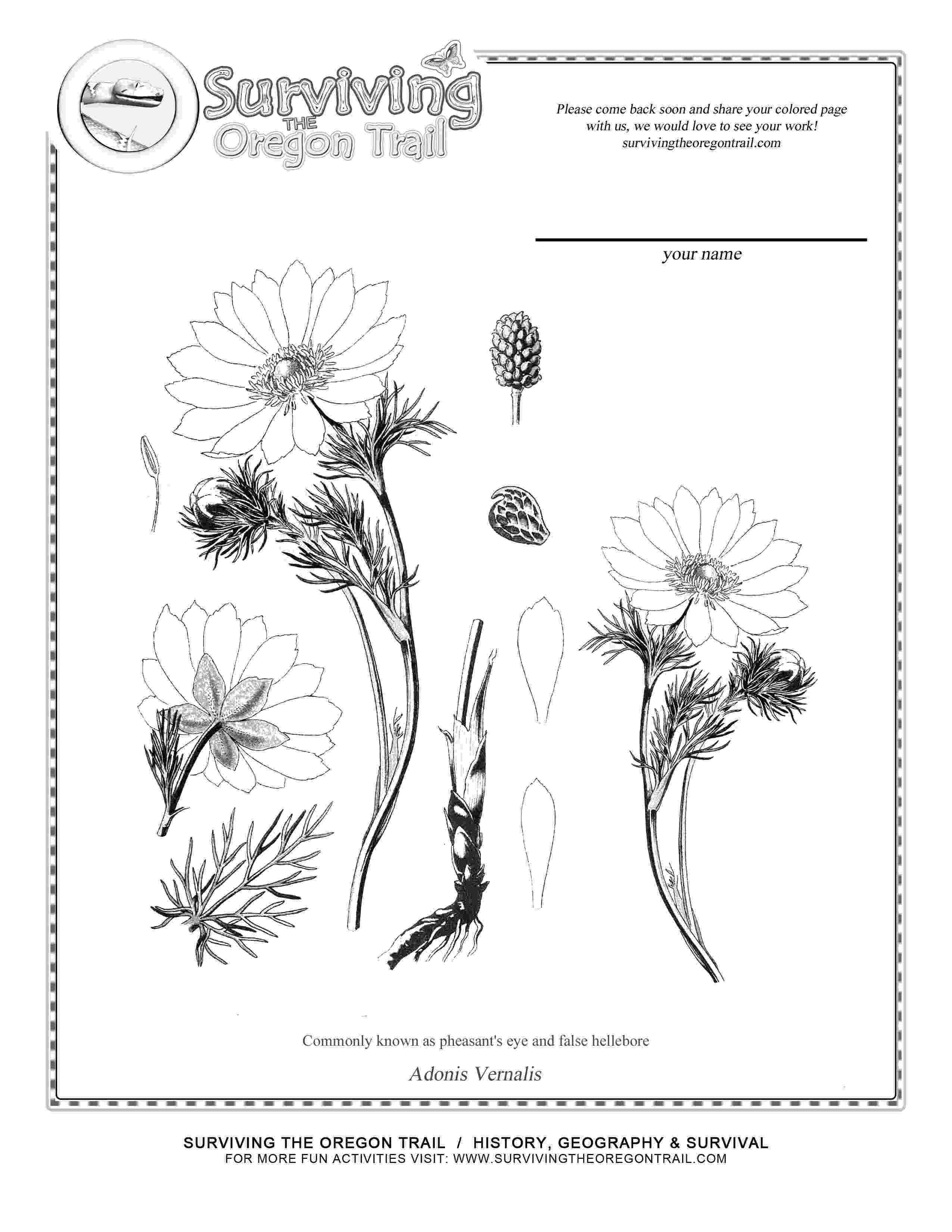 botany coloring book download free daffodil outline download free clip art free clip download botany coloring book