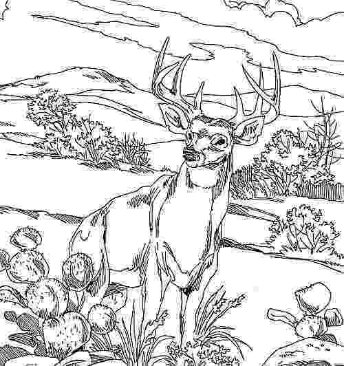 buck coloring pages behold the legendary whitetails not shallow buck pages coloring