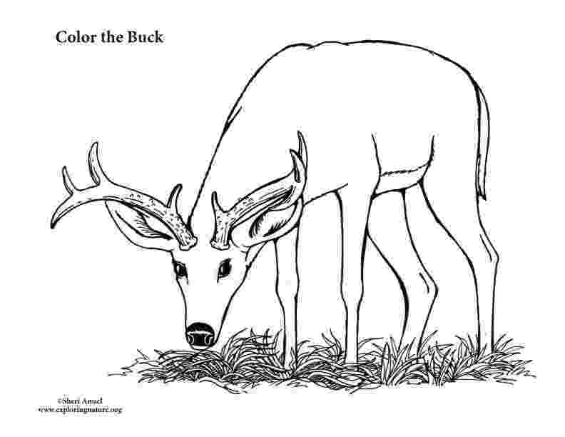 buck coloring pages buck male deer coloring page buck pages coloring