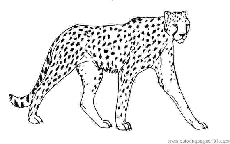 cheetah pictures to print cheetah coloring page free cheetah coloring pages print to cheetah pictures