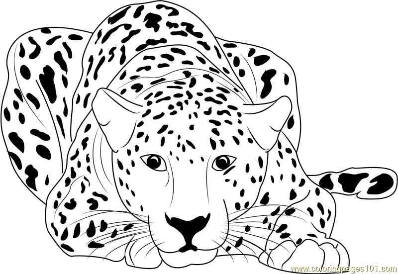 cheetah pictures to print printable cheetah coloring pages for kids cool2bkids print pictures cheetah to